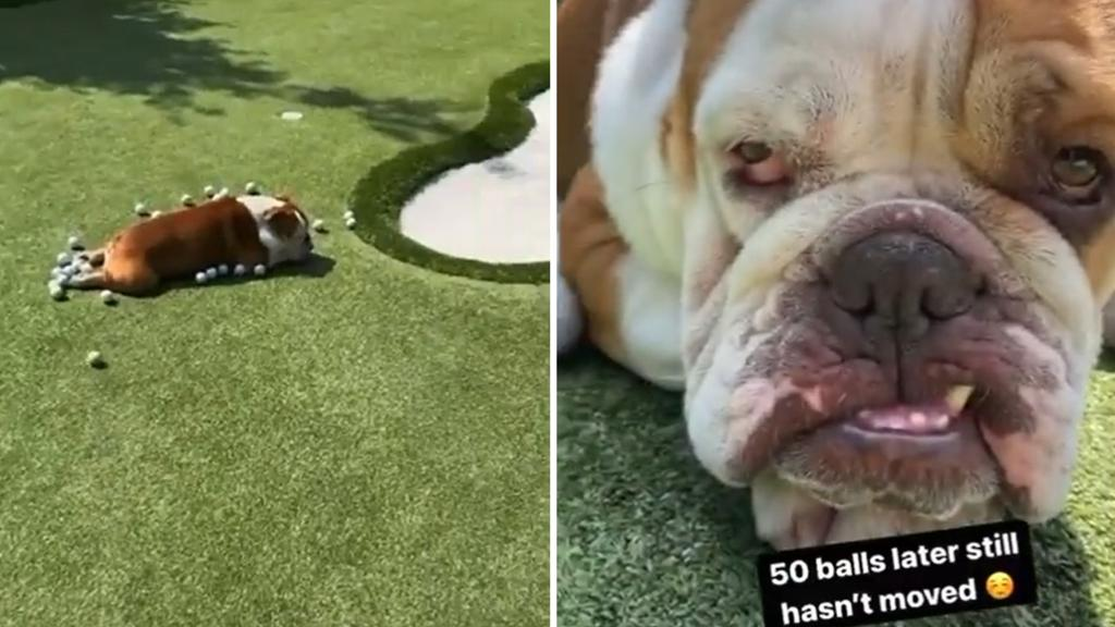Johansen's dog refuses to move while he practices putting